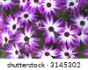 Flowers 'Senetti' Magenta Bi-Color, spring background - stock photo