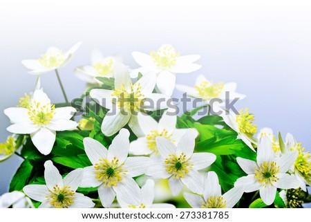flowers snowdrops - stock photo