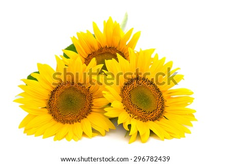 Flowers sunflower on white background - stock photo