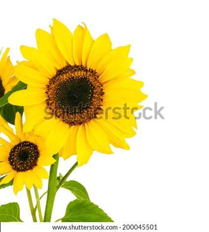 Flowers sunflower with green leaf. Isolated on white background - stock photo