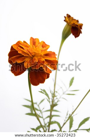 flowers tagetes isolated on a white background - stock photo
