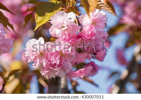 Flowers tree background. Flower sakura. Flower cherry tree. Flower spring. Spring flowers. Flower blossom. Pink flower. Flower beauty. Blooming flower. Tree flower. Flower blossoming. Flower bloom sky - stock photo