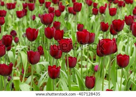 Flowers, tulips,fresh colorful tulips in warm sunlight - stock photo