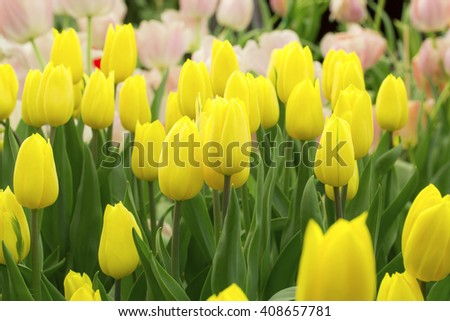 Flowers, tulips,fresh colorful tulips in warm sunlight,Style flare light