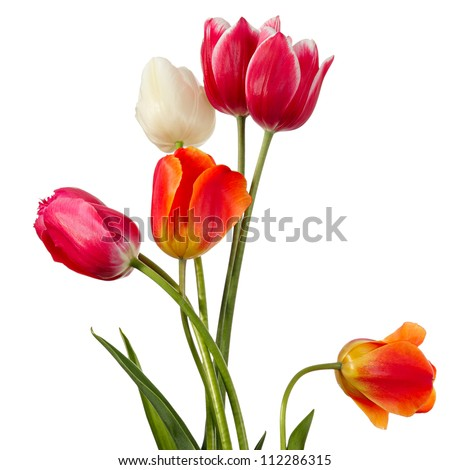 Flowers. Tulips of various color on a white background