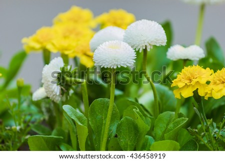 flowers white and yellow in a flowerpot - stock photo