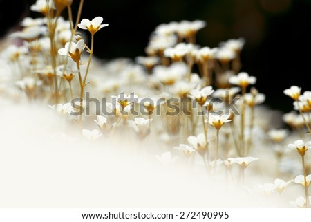 Flowers - wild white flowers in the meadow as background or texture - stock photo