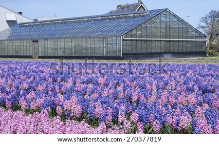 Flowers with a glass greenhouse in holland - stock photo