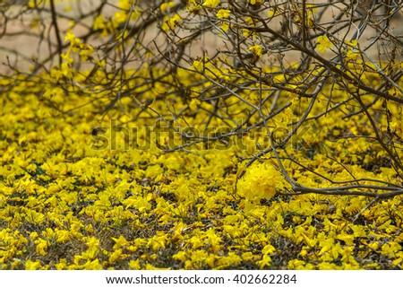 Flowers yellow flowers golden tree yellow pui stock photo royalty flowers yellow flowersgolden tree yellow pui scientific name tabebuia chrysantha mightylinksfo