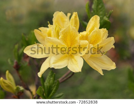 Flowers yellow  rhododendron in the park