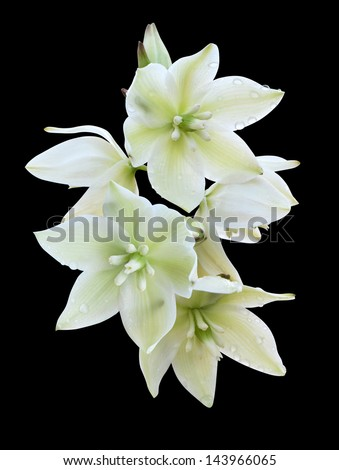 flowers yucca palms on a black background - stock photo