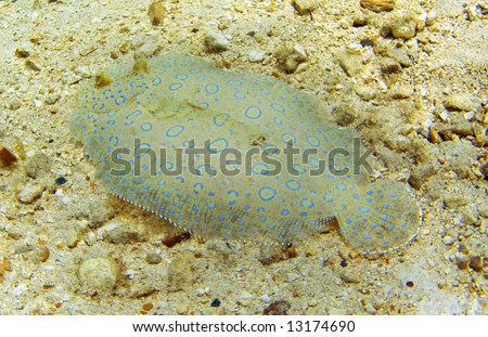 Flowery flounder on a shallow Cayman Island Reef - stock photo