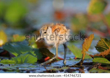 Fluffy African jacana chick looking for food on river, Africa