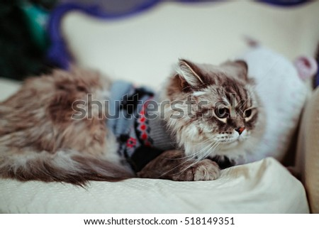 fluffy and cute gray cat in knitted sweater