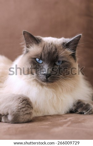 Fluffy Balinese Cat on couch - stock photo