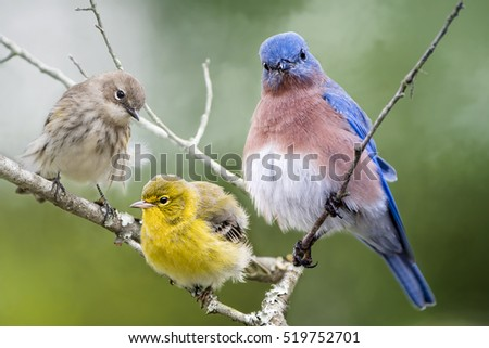 Fluffy Bird Trio