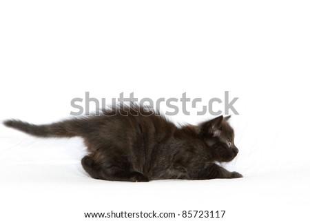 Fluffy black kitten stalking - stock photo