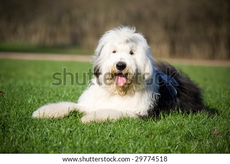 Fluffy bobtail lying on grass - stock photo