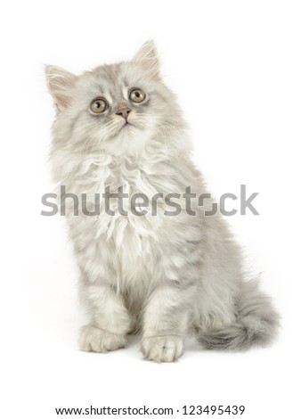 fluffy british longhair kitten isolated on white background - stock photo