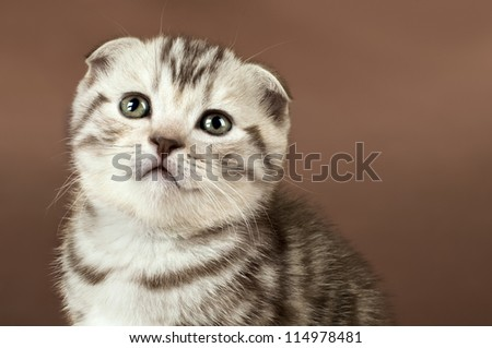 fluffy brown  beautiful  kitten, breed scottish-fold,  close portrait  on brown  background  , lamentably look,  close  muzzle - stock photo