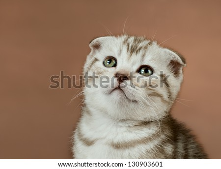 fluffy brown  beautiful  kitten, breed scottish-fold,  close portrait  on brown  background  ,  close  muzzle - stock photo