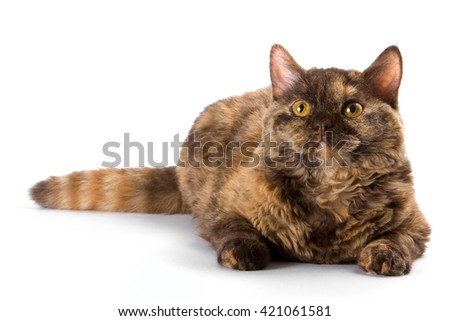 Fluffy brown cat (isolated on white) - stock photo