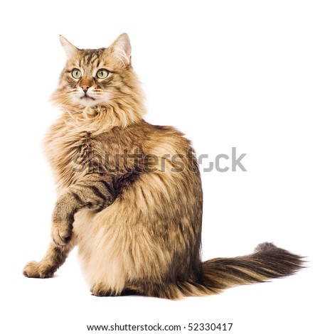 Fluffy cat isolated on white - stock photo