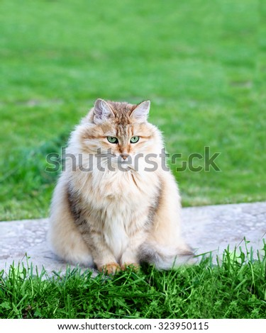Fluffy cat. Lady-cat - stock photo