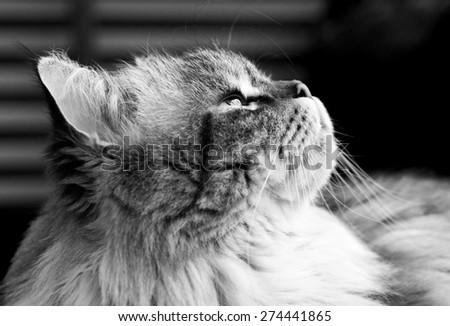 Fluffy cat looks up - stock photo