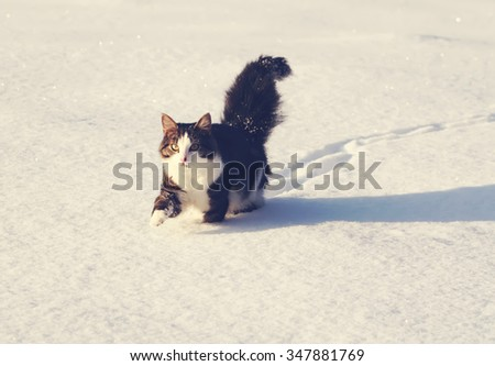Fluffy cat running on the snow. - stock photo