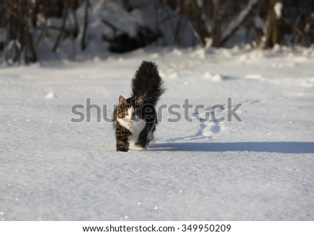 Fluffy cat running on the snow in winter park. - stock photo