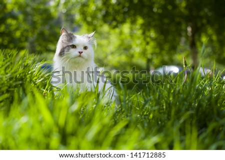 fluffy cat walks in the spring grass