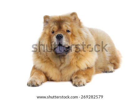 fluffy chow-chow dog isolated over white background - stock photo