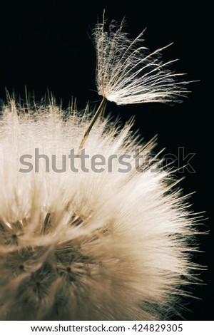 Fluffy dandelion close-up on dark background. Toned image. Shallow DOF, focus on seed. - stock photo