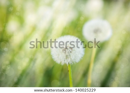 fluffy dandelion covered with bright sunlight - stock photo