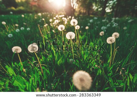 Fluffy dandelion on blurred green background on a sunny day - stock photo
