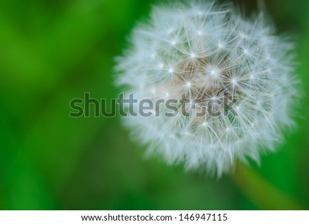 Fluffy dandelion seed head/puff clock - stock photo