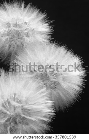 Fluffy dandelions close-up on dark background. Black and white image. Shallow DOF, focus on middle flower. - stock photo