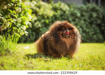 fluffy dog in the park. red dog in the grass - stock photo