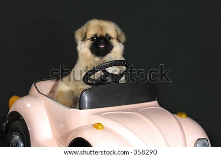 Fluffy dog in the pink car - stock photo