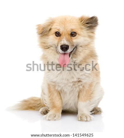 fluffy dog sitting in front. looking at camera. isolated on white background
