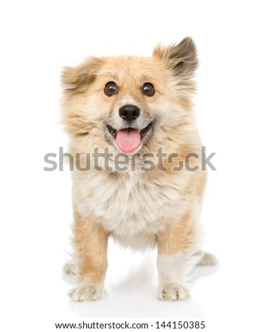 fluffy dog standing in front. looking at camera. isolated on white background - stock photo