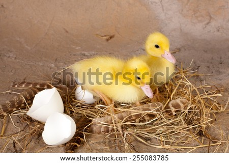 Fluffy easter ducklings sitting on their straw nest and broken eggshells