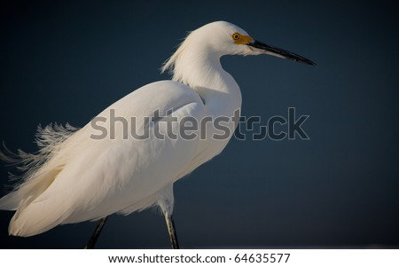 Fluffy feathered white egret on windy day