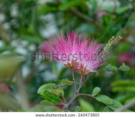 fluffy flower acacia - stock photo