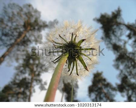 stock-photo-fluffy-flower-of-dandelion-a