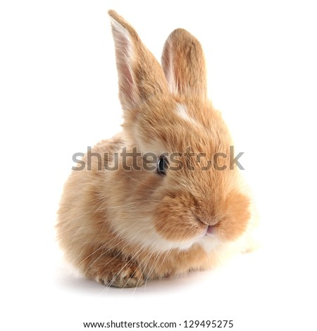 Fluffy foxy rabbit isolated on white - stock photo
