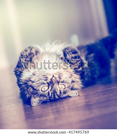 Fluffy funny cat lying and turns on her back on the parquet floor and looking at the camera. Sweet cat - stock photo