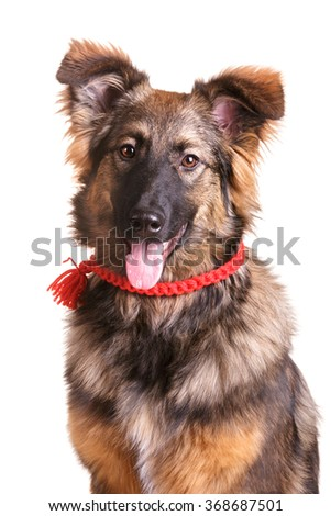 Fluffy german sheepdog mix mutt brown and black dog on white isolated background in red ribbon collar charm