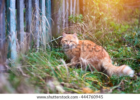 Fluffy ginger tabby cat walking near old wooden fence - stock photo